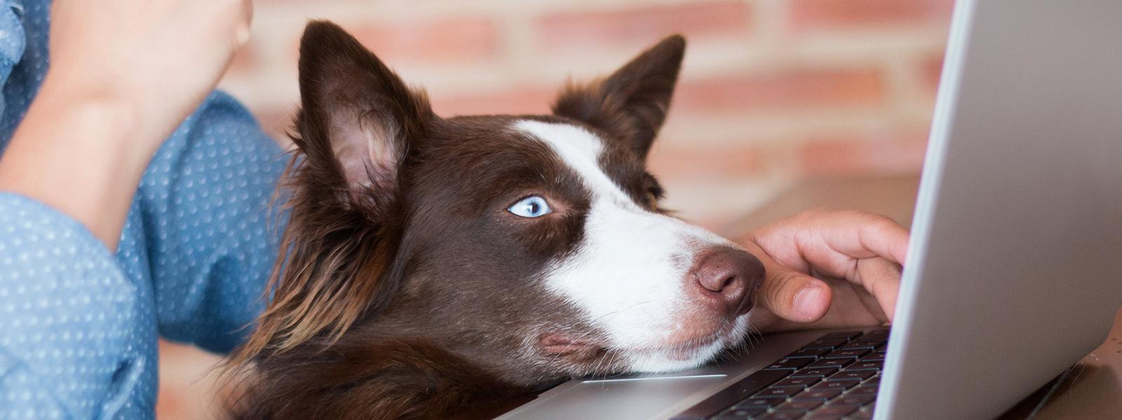 Brown dog looking at laptop