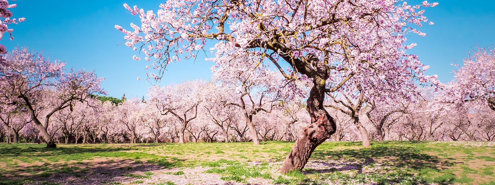 Almond Tree in Full Bloom | Woodruff